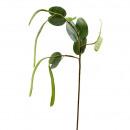 Bughinia branch, length 104cm, 5 beans á 16-28cm 5